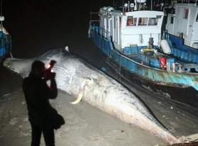 上海海域发现一死亡鲸鱼 鲸头缺失