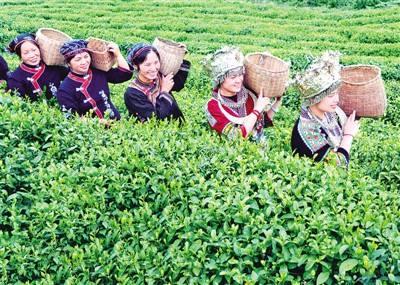 贵州贵台红制茶科技有限公司以贵州生态有机茶为原料,引台湾先进茶叶图片
