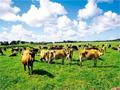 澳洲或變牛奶進口國